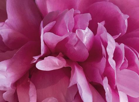 Clematis-cottage-flower-head